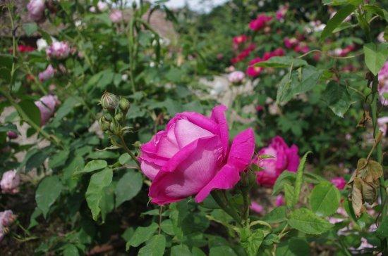 Govone, Italy: Rosa