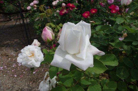 Govone, İtalya: Rosa