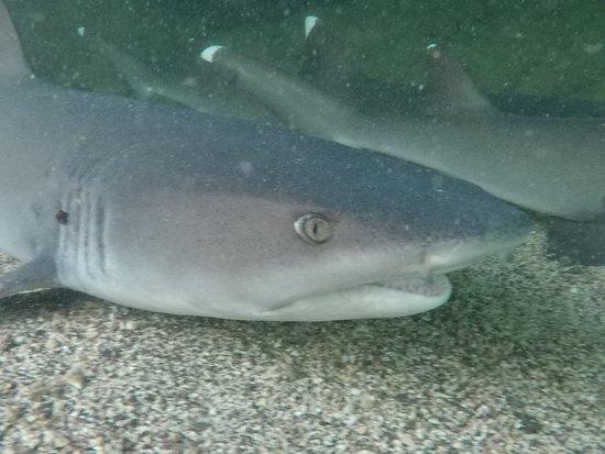 Puerto Villamil, Ecuador: Tiburon de aleta blanca (Tintorera)