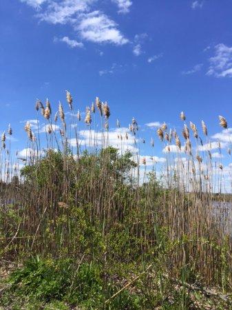 Madison, CT: Oat grass