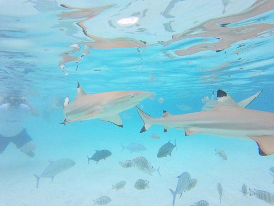 Moorea, French Polynesia: These are some of the sharks we swam with.