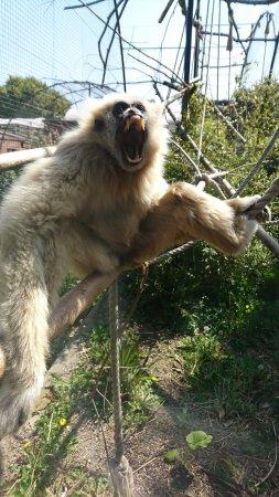 Welsh Mountain Zoo: Yawning Primate