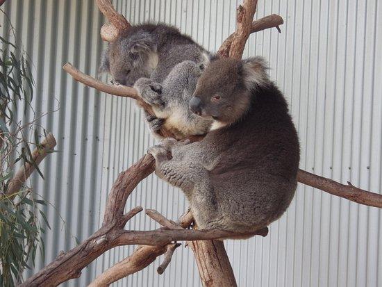 Kangaroo Island Wildlife Park: Koalas...
