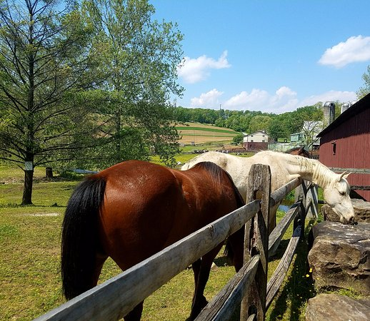 Strasburg, PA: horses looking for love