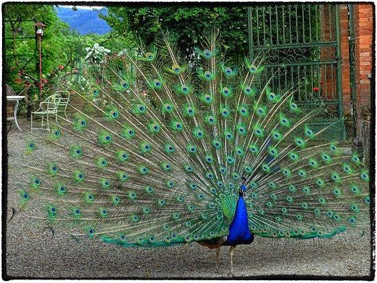 La ruota del pavone foto di roseto botanico carla - Immagini pavone a colori ...