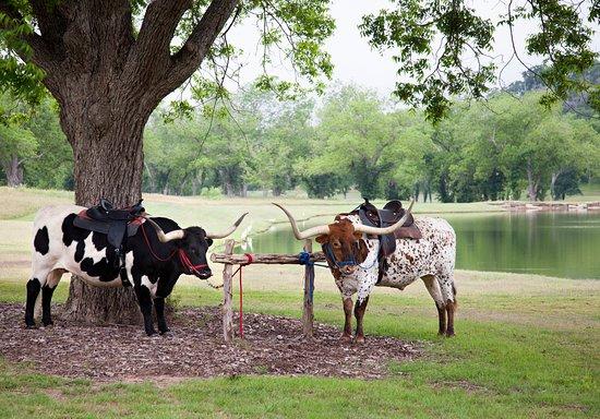 Cedar Creek, TX: Ribeye & T-Bone
