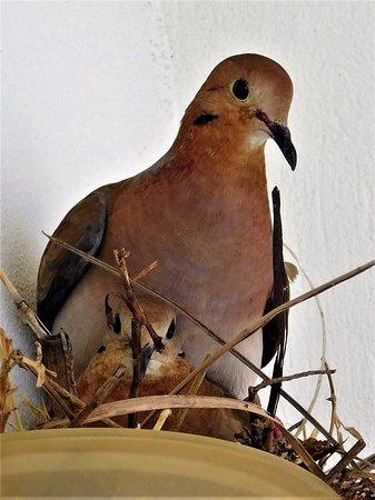 Rostrevor Hotel: Our nesting doves!!