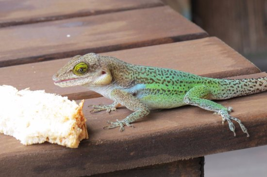 Turners Beach, Antigua: Little visitor to our patio area 