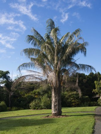 Auckland Region, New Zealand: A young palm from cool, dry Bolivia in the palm collection