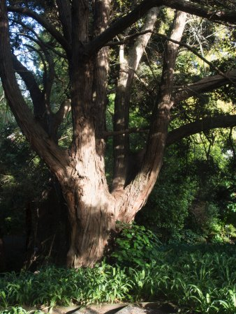 Auckland, Selandia Baru: A big totara tree (New Zealand native)