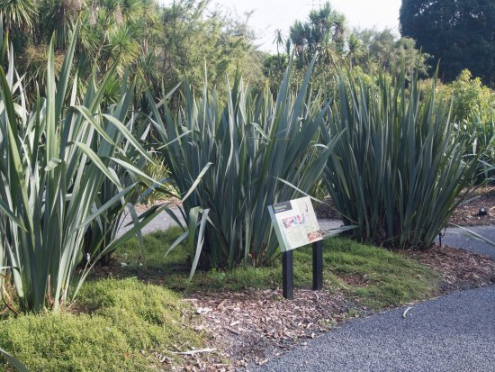Auckland Region, New Zealand: New Zealand flax collection.