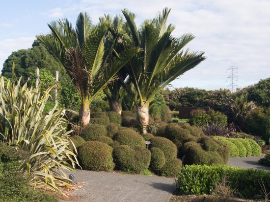 Auckland Region, New Zealand: Nikau palms and sheared New Zealand shrubs for landscaping