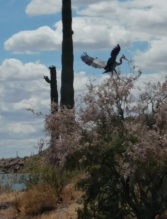 Peoria, AZ: Blue Heron returning to nest on Lake Pleasant