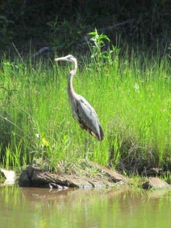 Potomac, MD: great blue heron