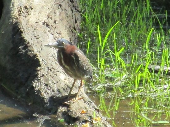 Potomac, Μέριλαντ: a little green heron.