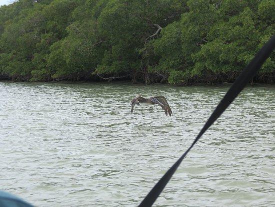 Davie, FL: Pelican
