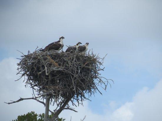 Davie, FL: Osprey? Mom and two babies