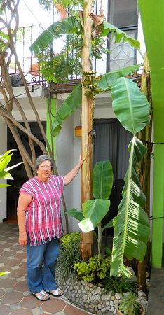 Hotel Las Mariposas: banana plant outside our room