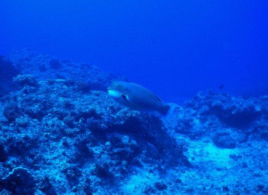 Axe Murderer Dive Tours: Parrotfish doing what Parrotfish do.