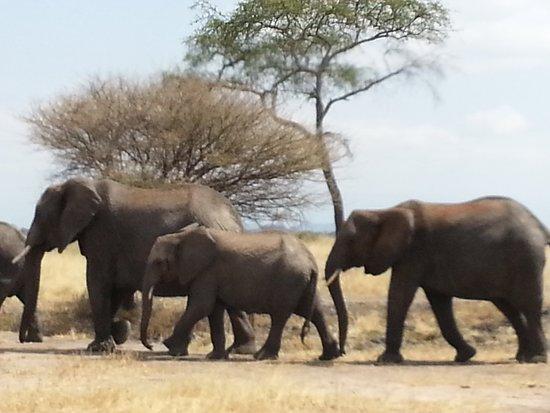 Elephant trail in Tarangire national park,photo by www.africantrekksafaris.co.tz