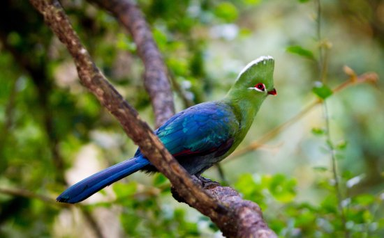 Birds of Eden: We have a selection of local and exotic Turaco's