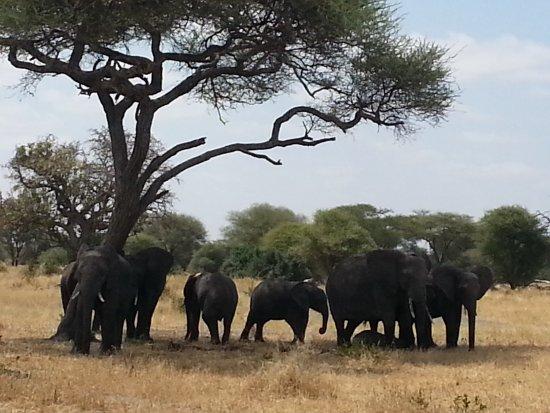 Tarangire National Park, Tanzania: Family of elephant,photo taken by www.africantrekksafaris.co.tz