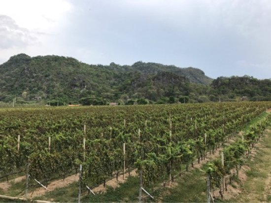 ปากช่อง, ไทย: 部屋から見えるワイン畑です。