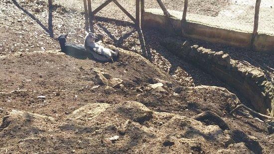 Gallicano nel Lazio, Italia: capre a riposo