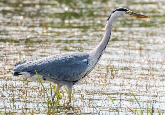 Purfleet, UK: Heron