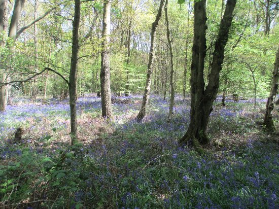 Leicestershire, UK: A carpet of bluebells