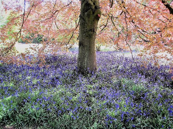 Leicestershire, UK: Bluebells and coper beech
