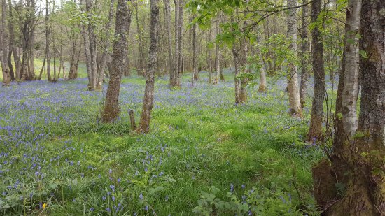 Balmaha, UK: slight detour on the way down, but met with bluebells.