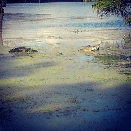 Champagne S Cajun Swamp Tours Breaux Bridge La