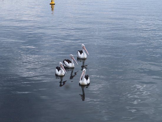 Greenwell Point, Australia: Pelican swimming on Anchor Bay