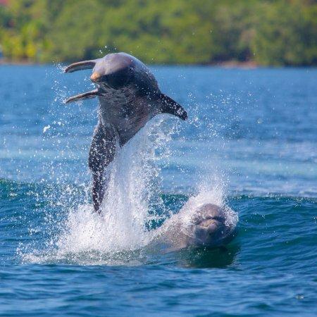 Isla Bastimentos, Panama: Playful dolphins in dolphin bay