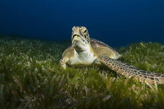 San Eustaquio: Green turtle having a snack