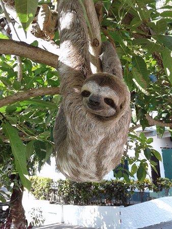 Villas de la Selva: Oso peresoso !