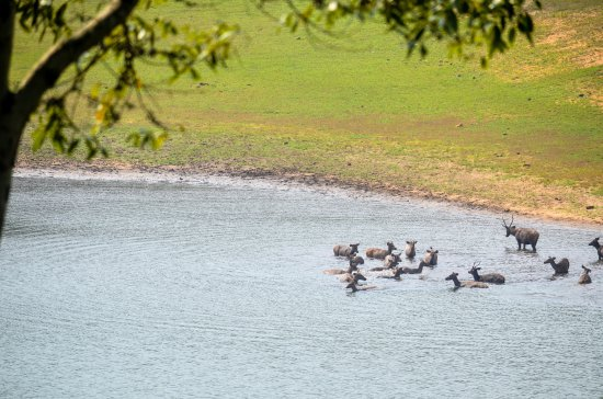 KTDC Lake Palace Thekkady: Sambar Deers in the Lake