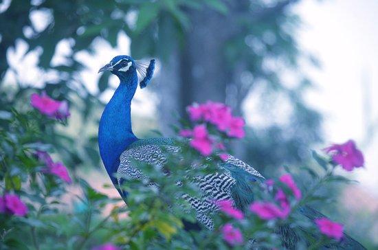 KTDC Lake Palace Thekkady : Peacock Glory