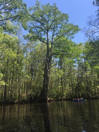 Nature Adventures Outfitters : Beautiful cypress tree