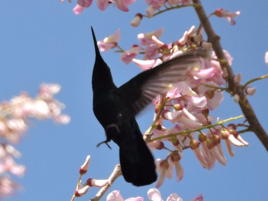 Marigot, Dominica: Humming bird sucking nectar at Hibiscus Valley, we have many around and at leasr 30 different bi