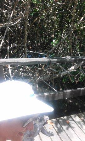 Concha de Perla: Iguanas por el camino