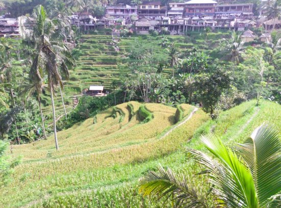 I love bali from ceking rice terrace picture of for Tegalalang rice terrace ubud