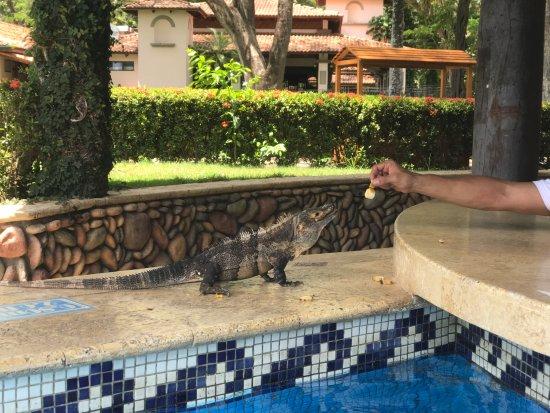 Playa Panama, คอสตาริกา: Feeding a friend at the pool