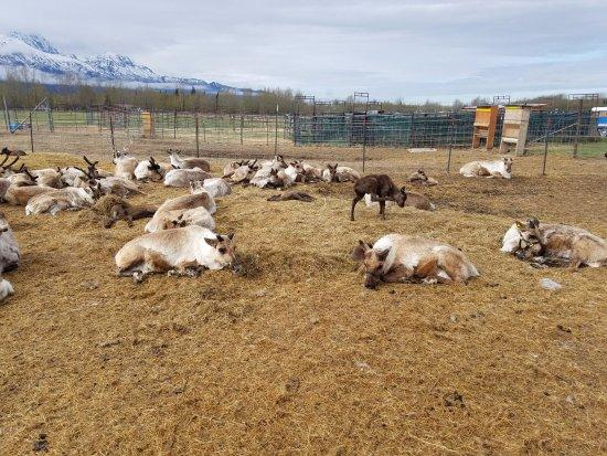 Palmer, AK: Reindeer
