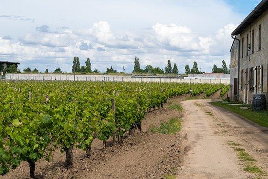 Libourne, Frankrike: The vineyard
