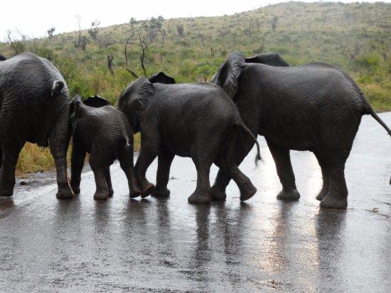 Zululand, Afrika Selatan: Elephant Crossing in Hluhluwe