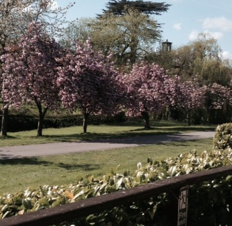 Cherry trees blooming early in Trentham. In the distance you can just make out the old bell towe