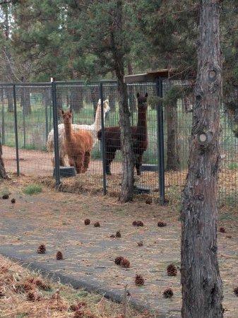 Bend/Sisters Garden RV Resort : Llamas in the park