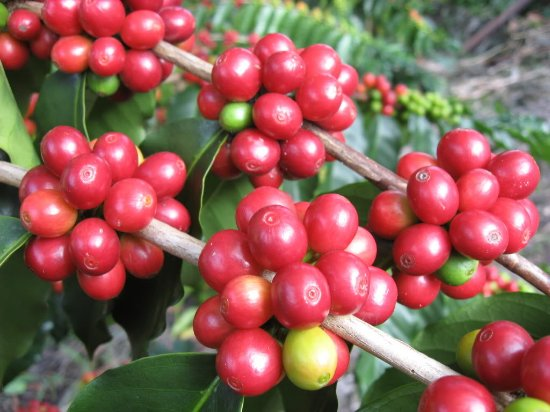 Honaunau, HI: Coffee Cherry